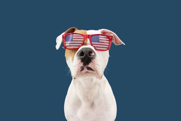 Jour de l'indépendance 4 juillet chien american staffordshire. isolé sur fond bleu.