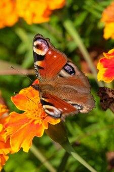 Jour paon papillon sur fleur jaune recueille le nectar close up macrophotographie