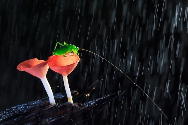 Jour de pluie et la sauterelle sur les champignons rouges