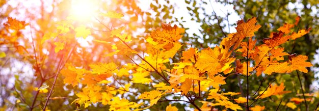 Journée d'automne ensoleillée dans la forêt. feuilles d'érable d'automne contre le soleil, panorama