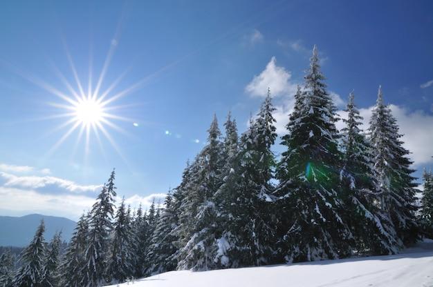 Journée ensoleillée dans la forêt de conifères d'hiver