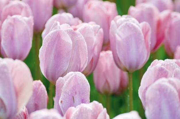 Journée de la femme. la saint valentin. tulipes de printemps.