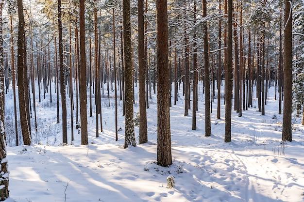Journée d'hiver ensoleillée dans la forêt de pins