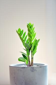 Le joyau de zanzibar est un arbre ornemental qui peut être planté à l'intérieur de la maison
