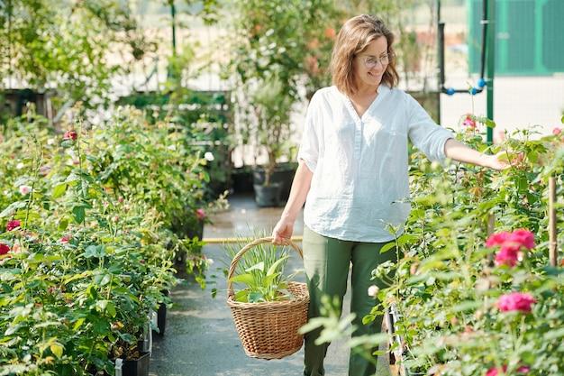 Joyeuse jardinière d'âge moyen avec panier regardant les feuilles vertes des roses en croissance en se tenant debout près de l'un des petits buissons en serre