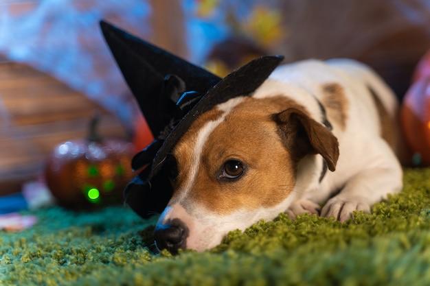 Joyeux halloween. chien pet jack russell terrier en costume et sur le fond de citrouilles lanternes de fumée squelettes pour halloween effrayant