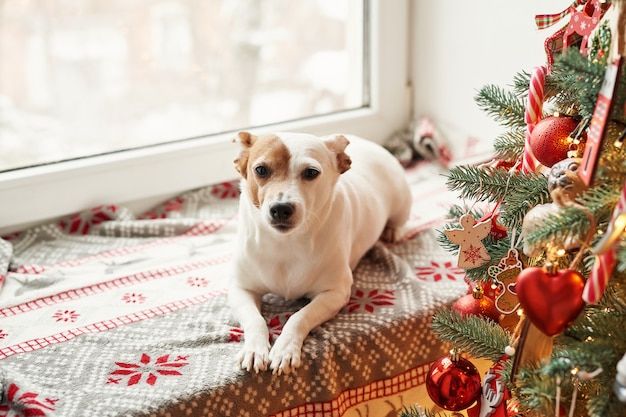 Joyeux noël. chien jack russell terrier dans la maison décorée avec arbre de noël et cadeaux souhaite de joyeuses fêtes et réveillon de noël. modèle de carte postale et calendrier. chien de noël jack russell terrier
