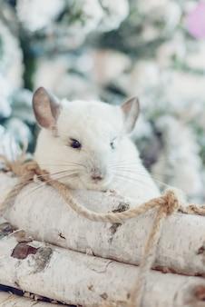 Joyeux nouvel an chinois 2020 année du rat. portrait de mignon chinchilla blanc sur le fond de l'arbre de noël
