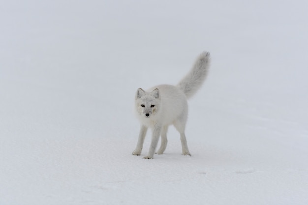 Joyeux renard arctique dans la toundra hivernale. renard arctique drôle.
