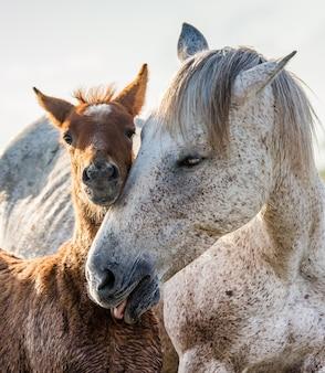 Jument avec son poulain. cheval de camargue blanc