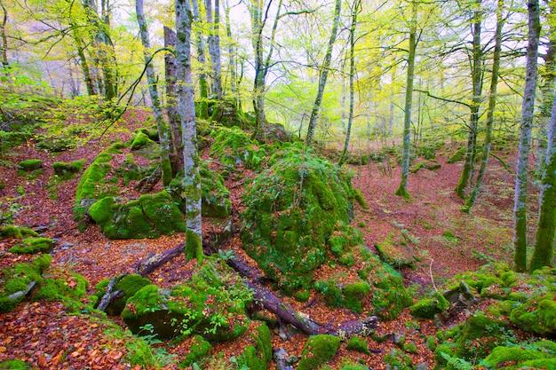 Jungle de hêtres selva de irati en automne dans les pyrénées de navarre en espagne