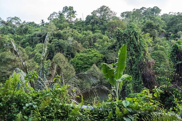 Jungle tropicale de l'île de koh samui plante verte beaucoup d'arbres