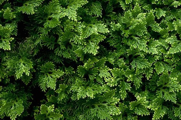 Juteux verts de genévrier pour la conception