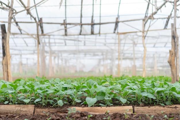 Kailaan parcelles de légumes biologiques en thaïlande.
