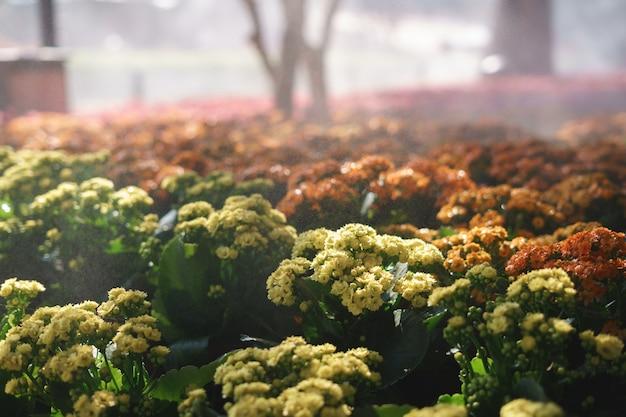 Kalanchoe blossfeldiana avec brouillard de pulvérisation