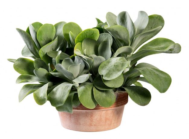 Kalanchoe thyrsiflora en pot en terre cuite