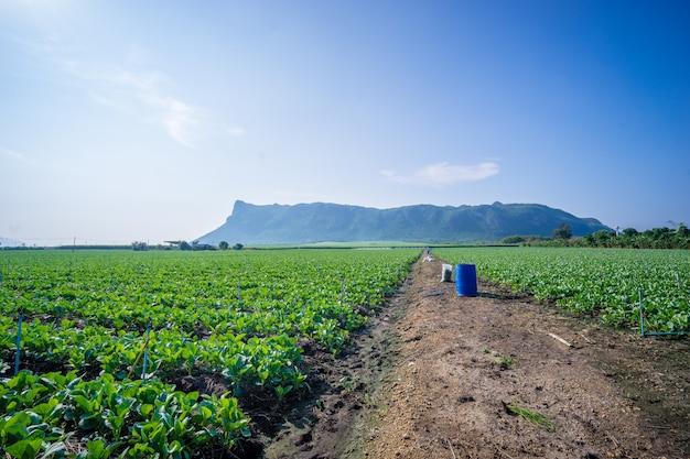 Kale chinois planté dans le jardin avec fond de montagne