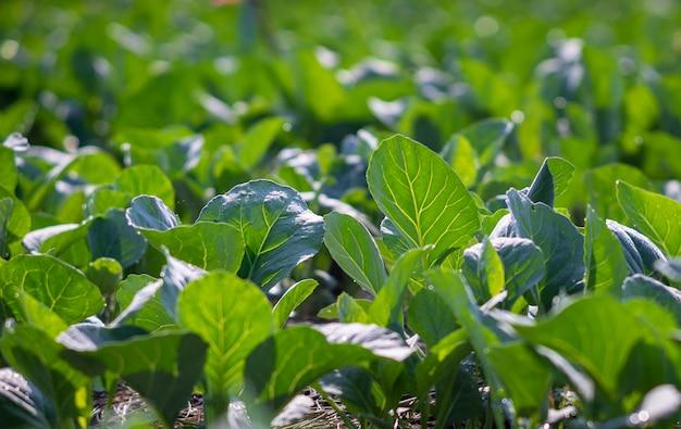 Kale chinois planté dans le jardin