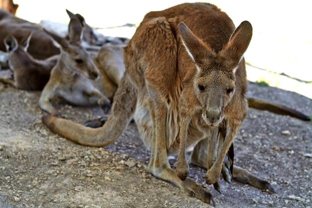 Kangourou assis par terre dans les jardins zoologiques du nord d'israël
