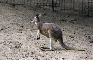 Kangourou, créature