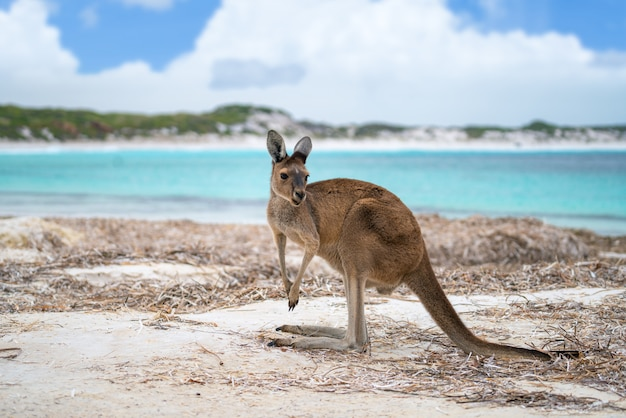 Kangourou à lucky bay dans le parc national de cape le grand
