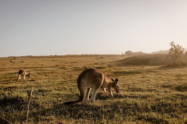Kangourou mange de l'herbe