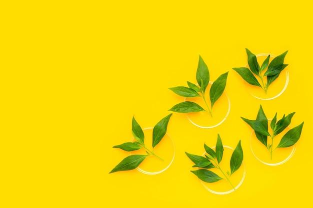 Kariyat ou andrographis paniculata feuilles vertes dans des boîtes de pétri sur fond jaune.