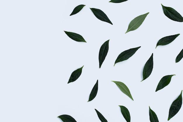 Kariyat ou andrographis paniculata feuilles vertes sur fond blanc.