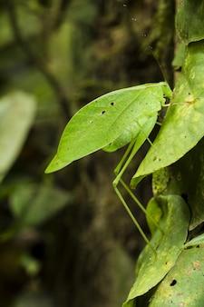 Katydid imitant les feuilles, orophus tesselatus