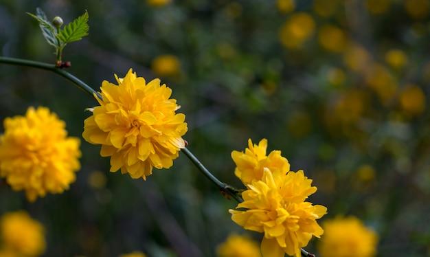 Kerria japonica, un bel arbuste à fleurs jaunes