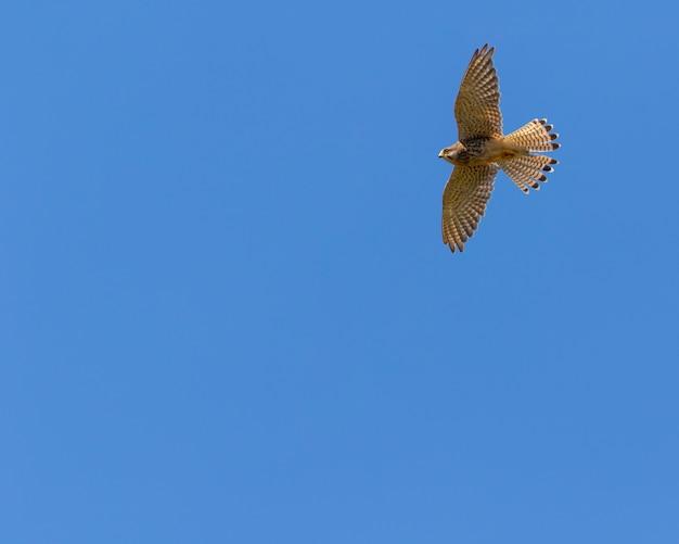 Kestrel en vol avec ciel bleu