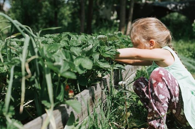 Kid girl picking fraises mûres en saison estivale sur ferme de fraises biologiques. récolter les baies