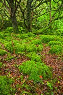 Killarney forêt hdr vert