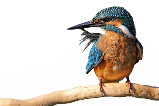Kingfisher alcedo atthis assis sur un bâton avec une plume dans son bec