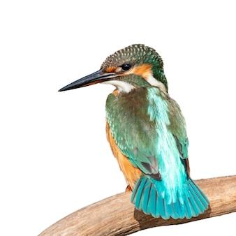 Kingfisher commun isolé sur blanc