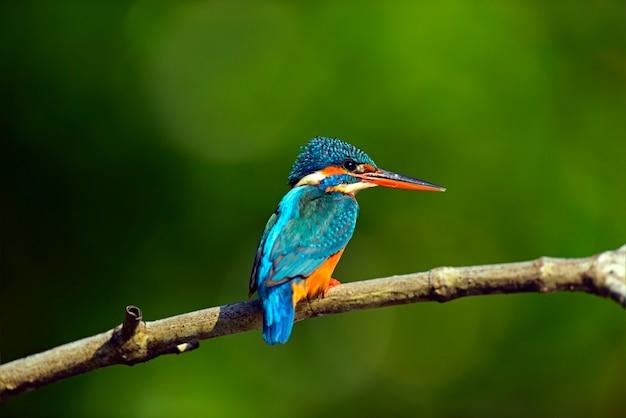 Kingfisher à l'état sauvage sur l'île du sri lanka