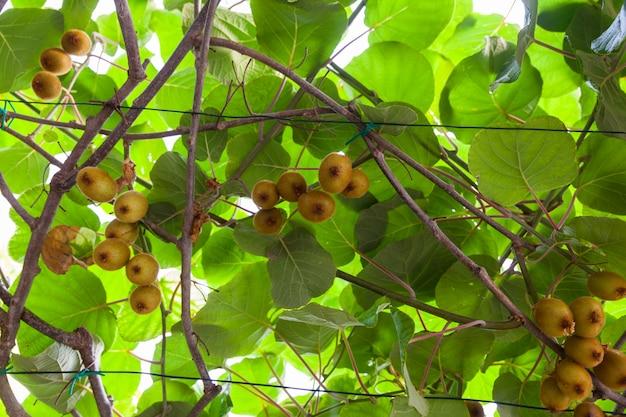 Kiwi sur la branche