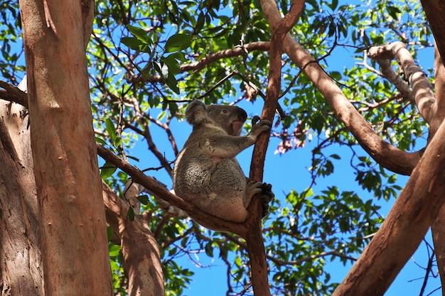 Koala au zoo de taronga à sydney