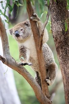 Koala dans un arbre