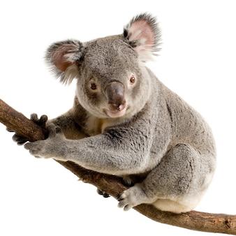 Koala devant un fond blanc