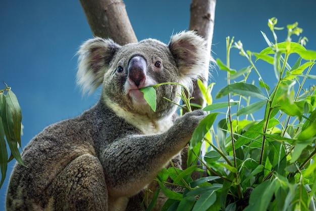 Le koala mange des feuilles d'eucalyptus.