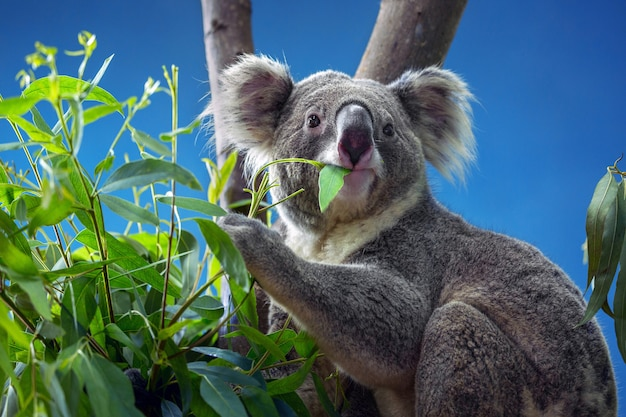 Koala mangeant des feuilles d'eucalyptus.