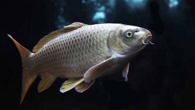 Koi doré ou poisson koi argent isolé sur fond noir