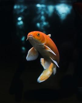 Koi doré ou poisson koi jaune isolé sur fond noir