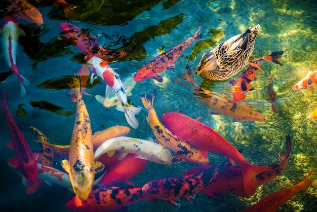 Koi fishes et le canard