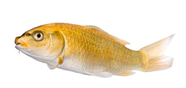 Koi ogon jaune - cyprinus carpio sur blanc isolé