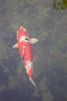 Koi poisson nageant dans le jardin de l'étang, stock photo