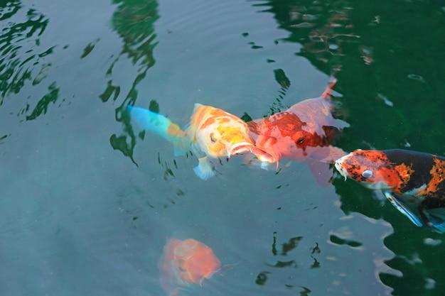 Koi poissons nagent sur l'étang