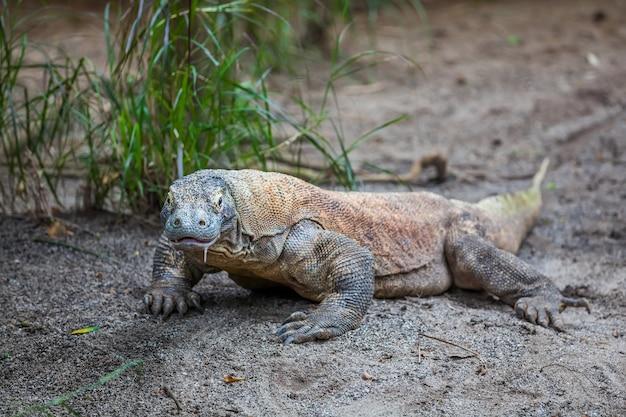 Komodo dragon sur le sol
