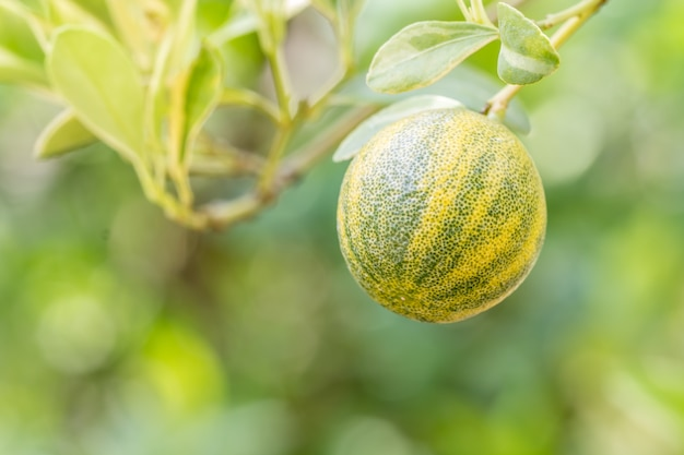 Kumquats ou citrus japonica thunb